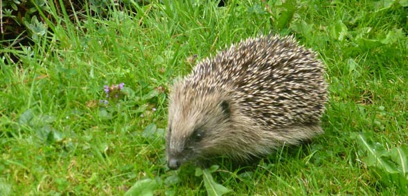 A hedgehog foraging for food